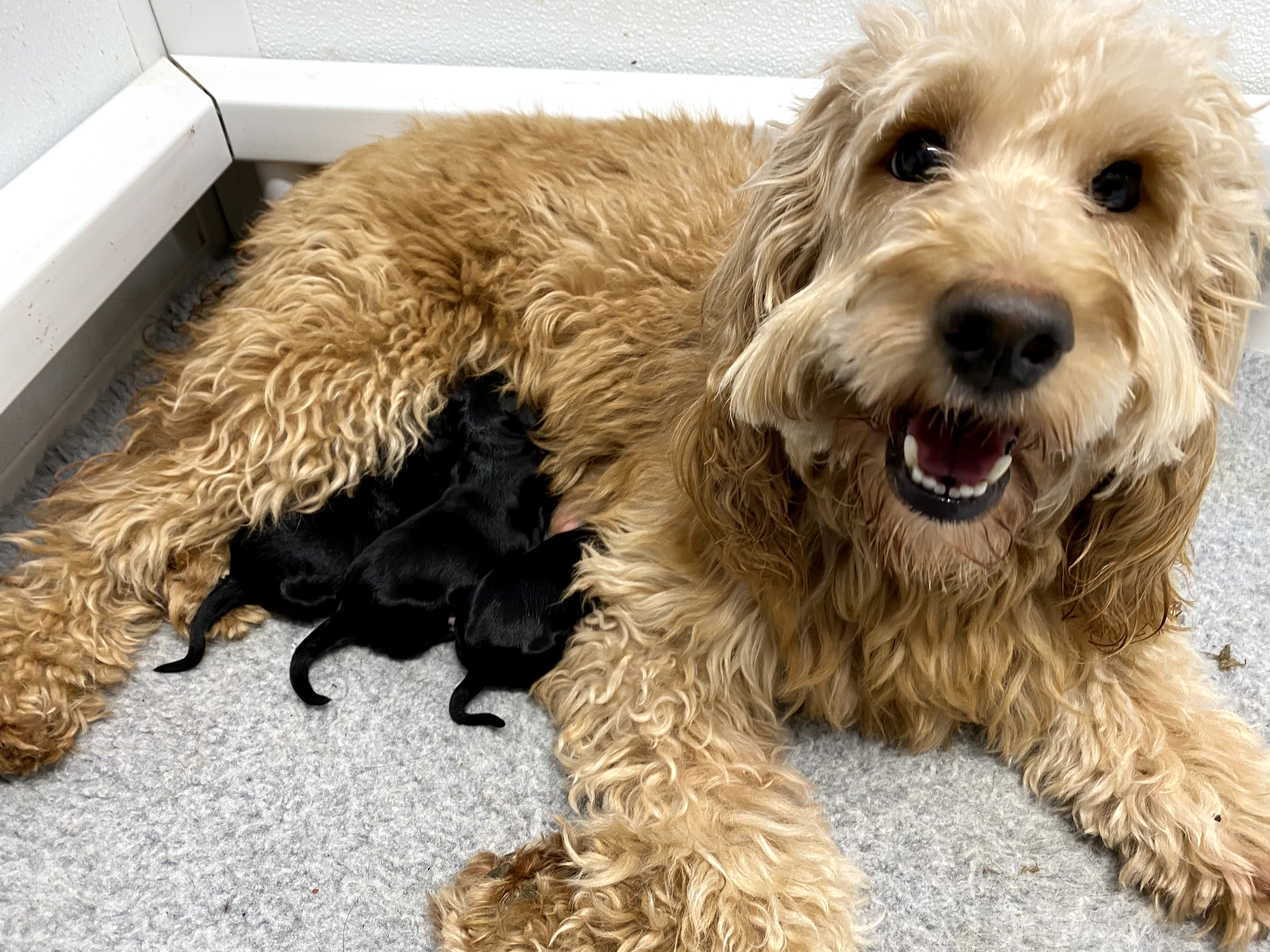 Breeder Of Poodles Doodles Goldendoodles Bernedoodles Golden Mountain Doodles Maryland Laplata Md