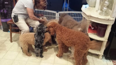 Breeder of Poodles Doodles Goldendoodles Bernedoodles Golden